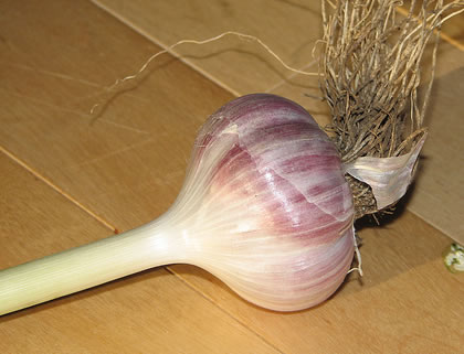 garlic_root.jpg